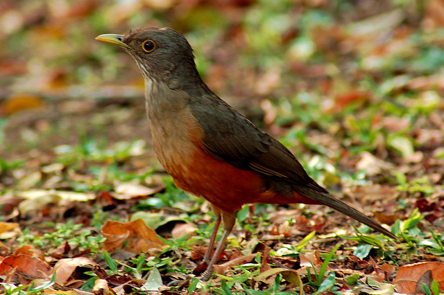 The sabia the national bird of brazil discover brazil the sabia the national bird of brazil altavistaventures Images