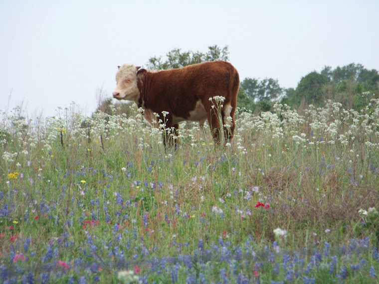 New Calf in Patriotic Wildflowers