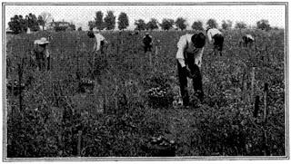 Soil for Tomato Gardening