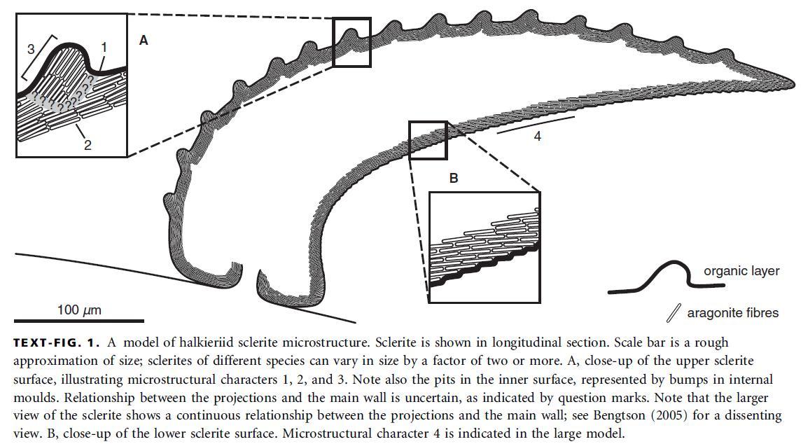Urochordata Diagram Diagram of coelosclerite