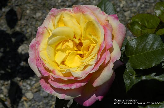 Hybrid Tea Rose #39;Love amp; Peace#39;