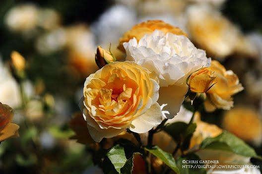 digital flower austin rose graham thomas. Black Bedroom Furniture Sets. Home Design Ideas