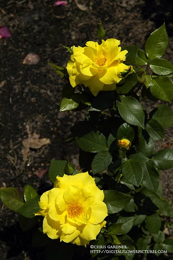 flowers roses yellow. of yellow flowers posted