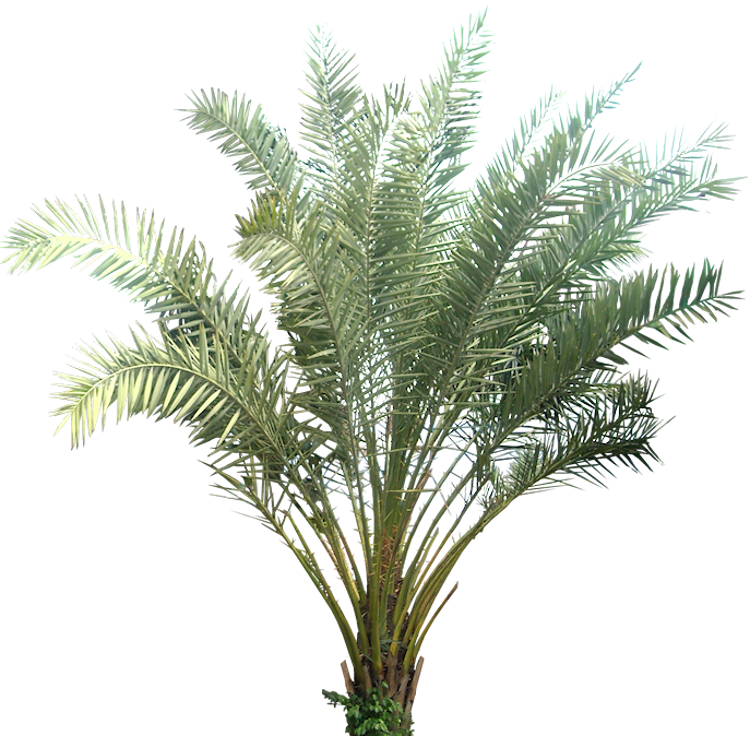 Tropical Plant Pictures: Palm : Phoenix Sylvestris