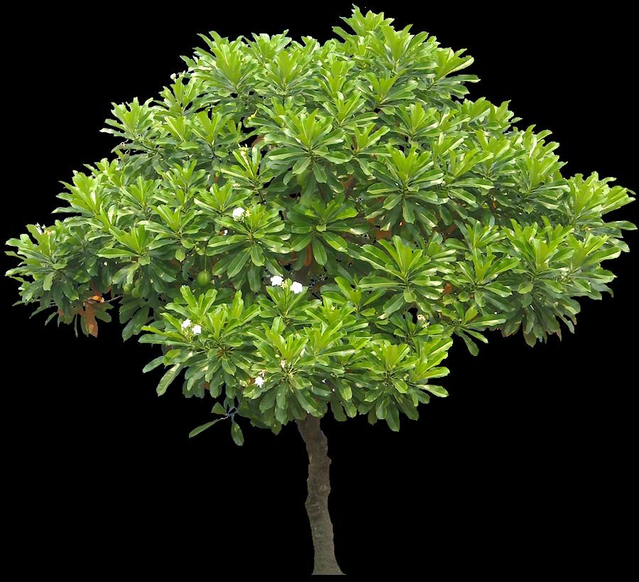 Evergreen Tree For Shade