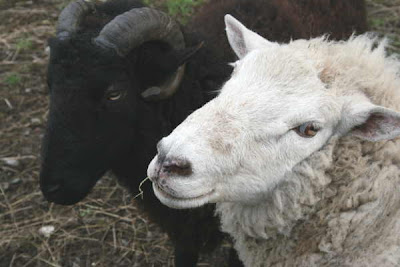 black ram with white ewe