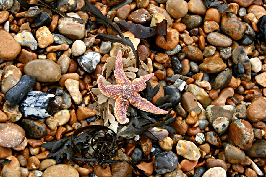 Seaweed and starfish washed up on wet shingle