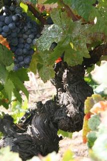 black grapes on old vine
