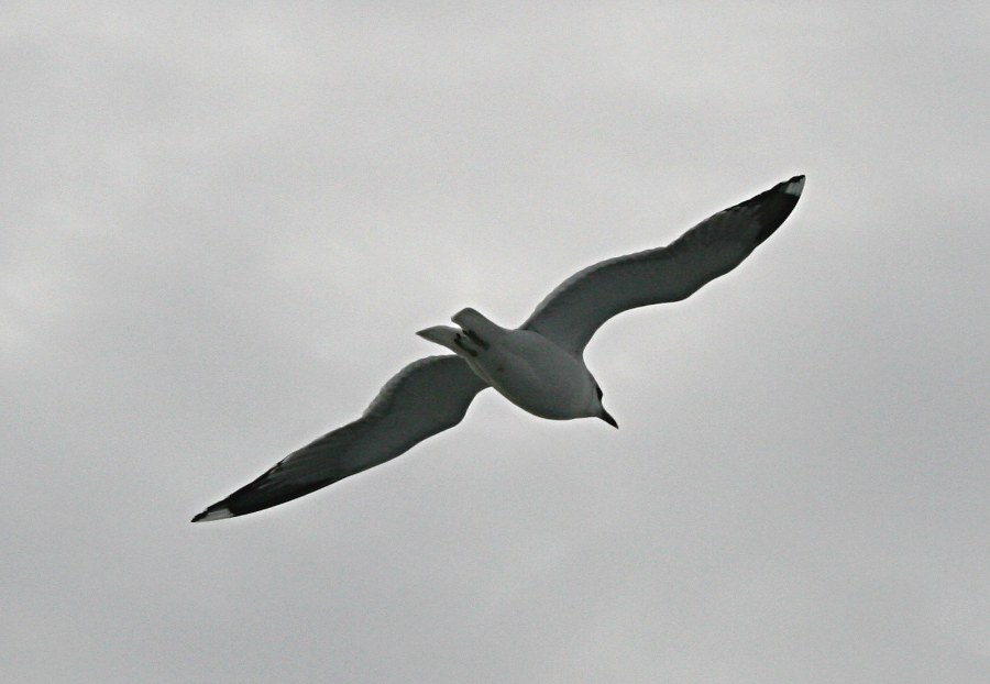 single gull flying