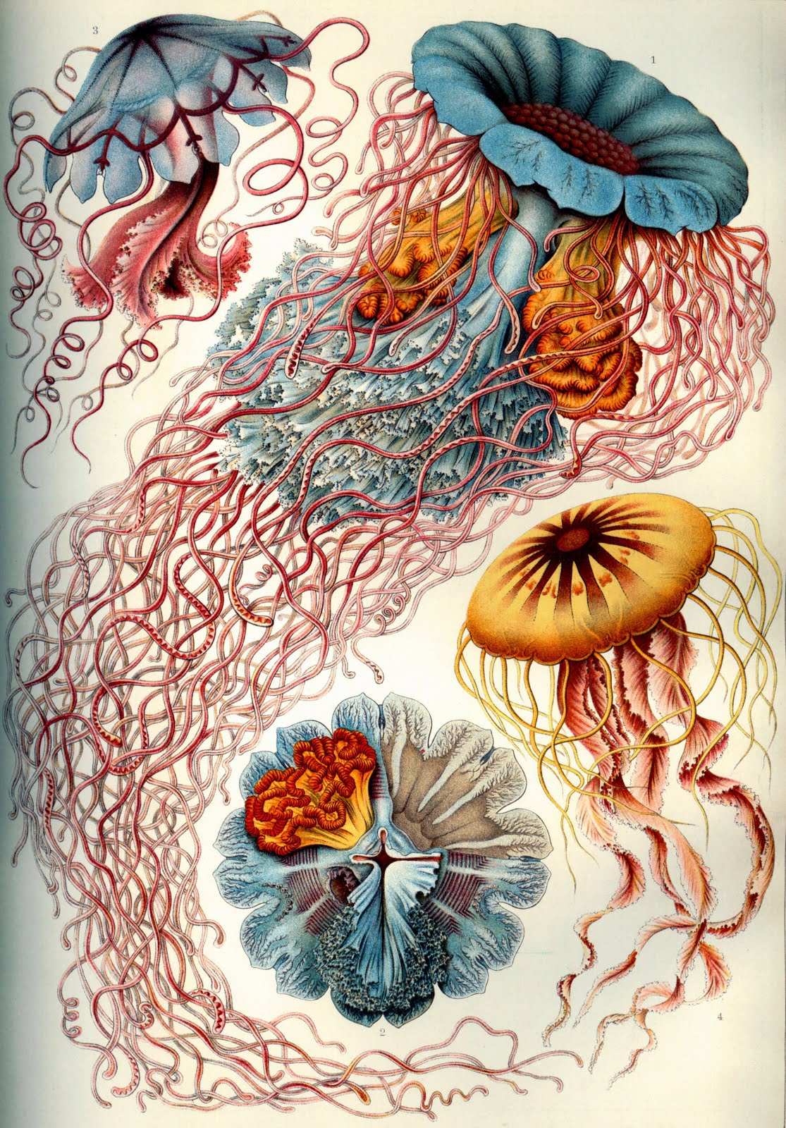 Vintage jellyfish illustration - photo#5