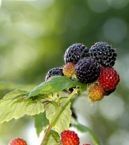 how to make black raspberry jam