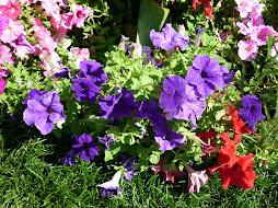 Na fragilidade das flores as cores e perfumes da natureza