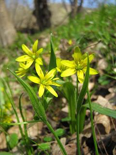 Gagea lutea, křivatec žlutý