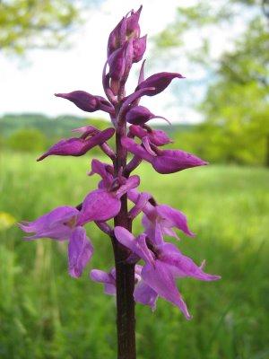 [Orchis+mascula+Early+Puple+Orchid+vstavač+mužský]