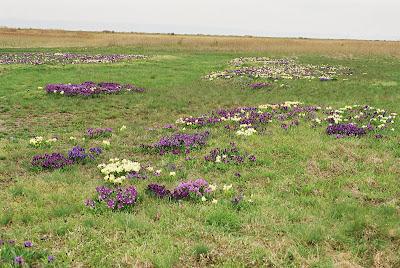 kosatec žlutofialový, Iris spuria