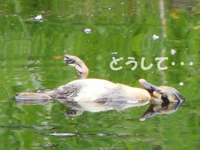 カルガモの画像 p1_16