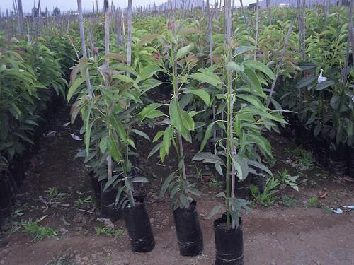 Vivero for Viveros de arboles frutales en chihuahua