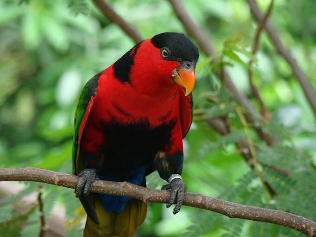 Gudang Burung: Nuri Kepala Merah