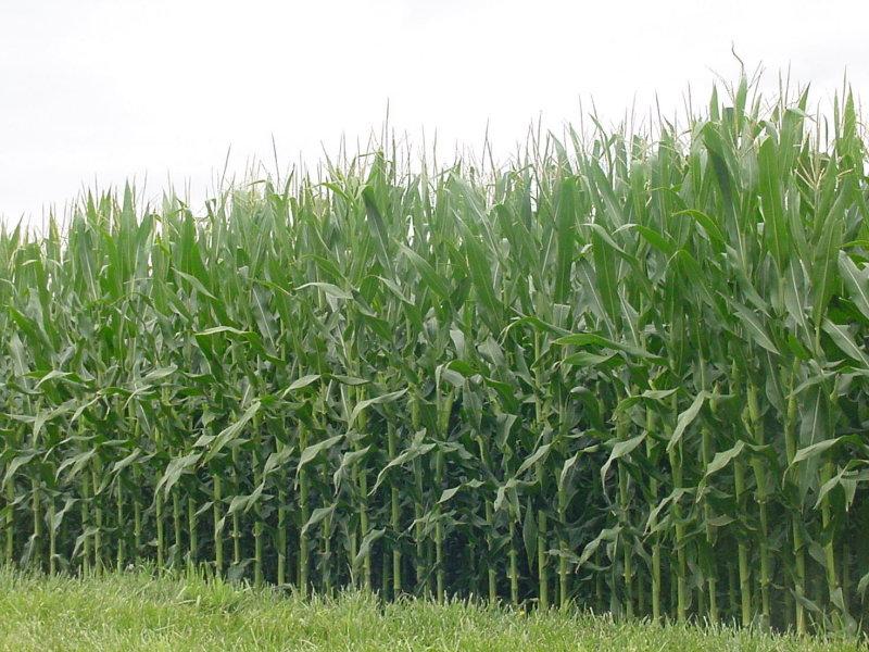 [illinois+corn+fields]
