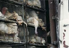 Transporte de gallinas para consumo humano.