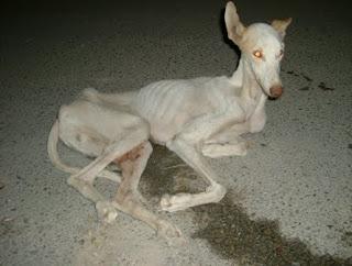 Galgo abandonado y atropellado, con considerable pérdida de masa muscular y en avanzado estado de desnutrición.