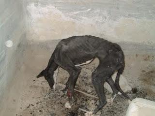 Galgo arrojado a un pozo y encontrado por trabajadores de refugio con seria pérdida de masa muscular, y estado muy grave de desnutrición y deshidratación. Fue encontrado aún con vida.