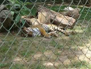 Tigre en parque zoológico.