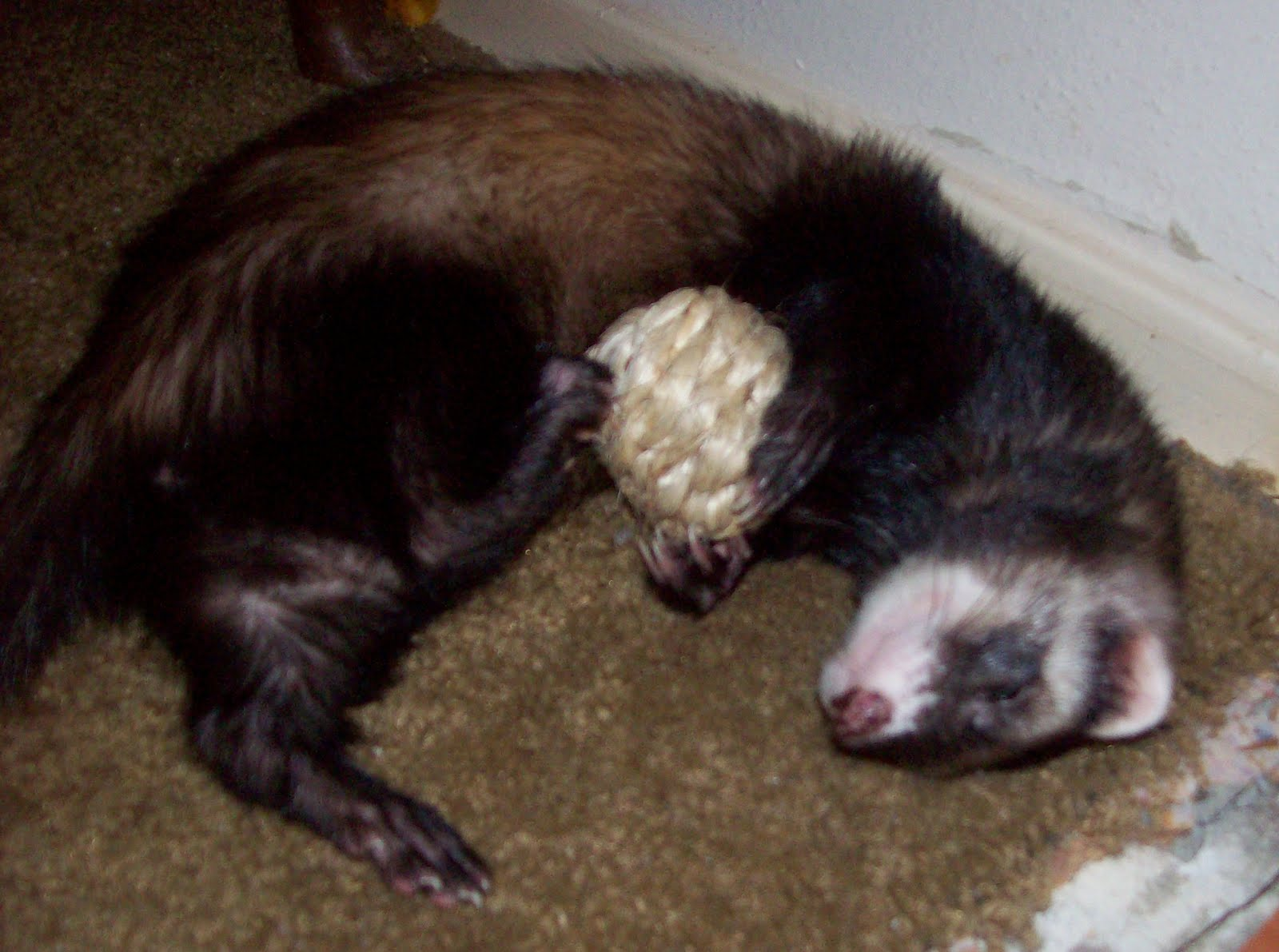 Can You Give Ferrets Cat Food
