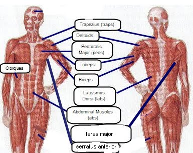the human body muscles diagram