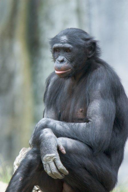http://1.bp.blogspot.com/_VNvv9pJlEp4/SwGE5imLZxI/AAAAAAAAFAs/pMr7UuFQHSk/s1600/Bonobo.jpg