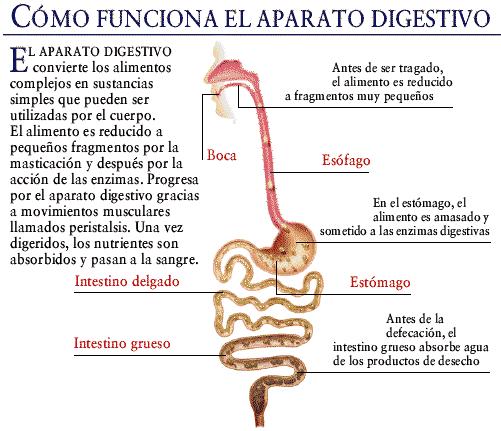 Educación Física en la Red: Proceso de la digestión de los alimentos