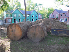 Decimated Oak Trees