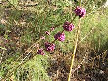 Callicarpa americana-American Beautyberry
