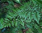 Rumohra adiantiformis-Leather Fern