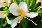 Hedychium coronarium-White Ginger