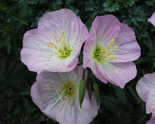 Oenothera-Mexican Evening Primrose