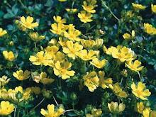 Potentilla neumanniana-Spring Cinquefoil