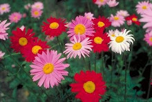 Pyrethrum-Painted Daisy