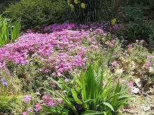Phlox bed 2009, started with transplants