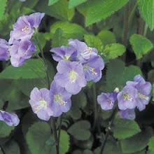 Polemonium-Jacob's Ladder