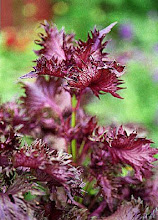 Perilla frutescens-Beefsteak Plant