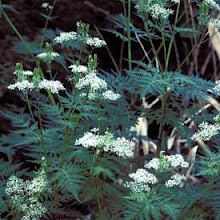 Myrrhis odorata-Sweet Cicely