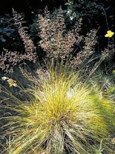 Sporobolus heterolepis-Prairie Dropseed
