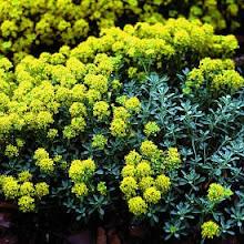 Aurinia saxatilis-Perennial Alyssum, Basket of Gold