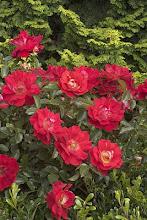 Rosa Caramba-Groundcover Rose
