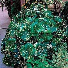 Farfugium japonicum-Leopard Plant