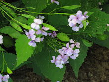 Lunaria biennis-Money Plant or Silver Dollar