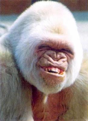 WIP PANTHER G TAMIYA di CPT America Lrg-67-laughing_gorilla