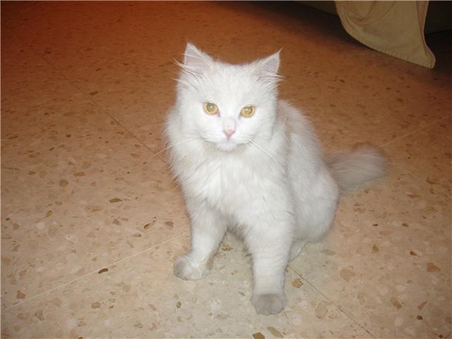 Se ve un gato joven, es machito , desconozco si está esterilizado.Necesita un hogar definitivo, es un gato tranquilo, sociable y hermosisimo.