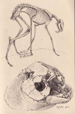 Chevrotain porte-musc, Moschus moschiferus & tête de poisson osseux inconnu
